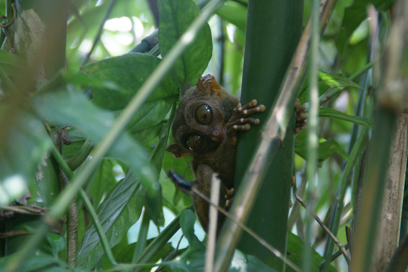 Tarsier the smallest monkey in the world