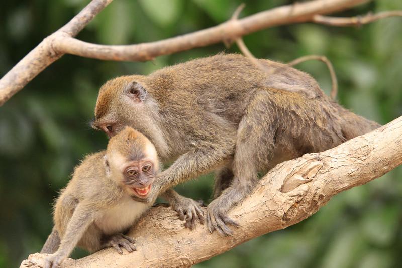 Macaque Parenting