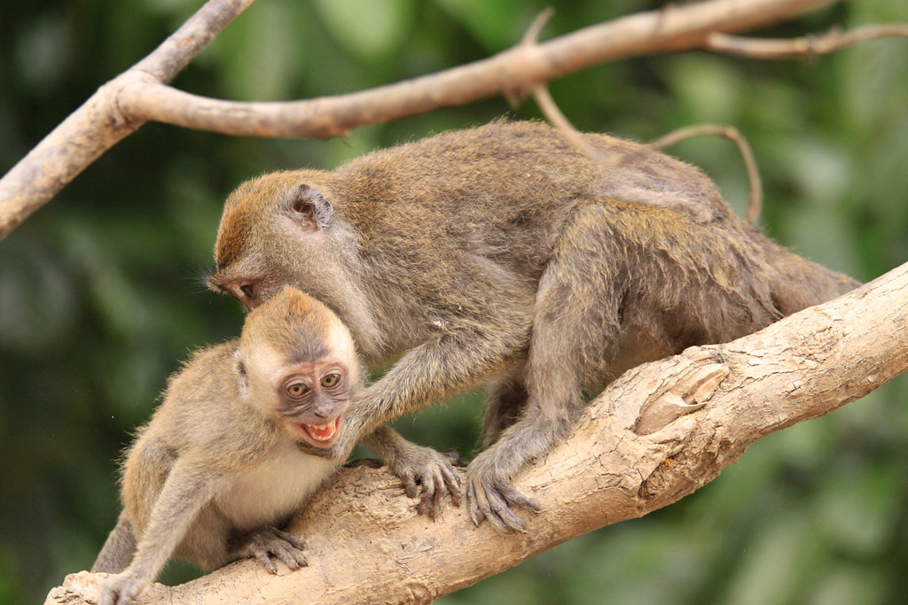 Macaque Parenting