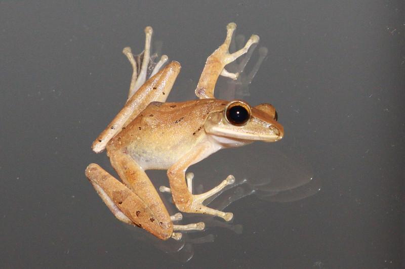 Balinese Frog