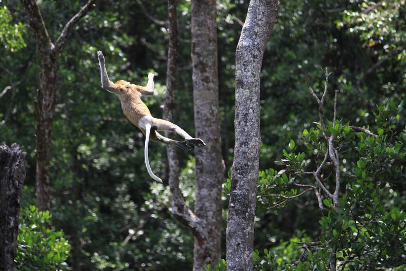 Leaping Proboscis Monkey