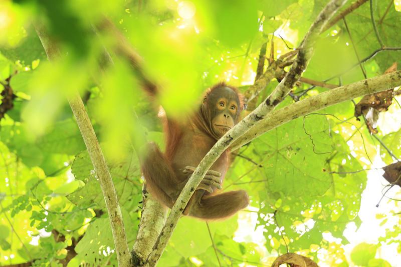 Orangutan Youth