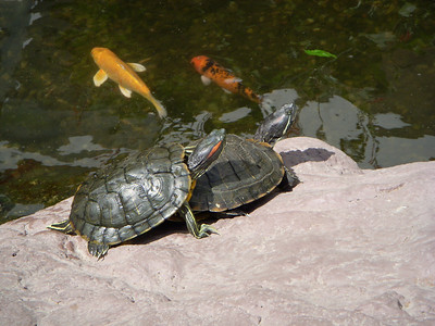 Turtles in the hotel pond