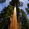 typical giant sequoia