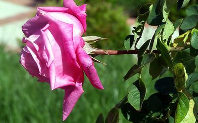 A flower in the neighbor's garden.