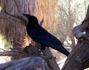 The Living Desert -- A raven in an aviary.