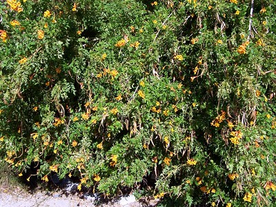 The Living Desert -- A bush.