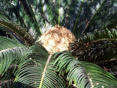 The Living Desert -- A conifer.