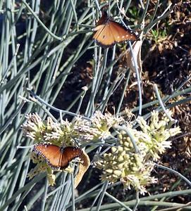 The Living Desert -- Butterflies on a bush.