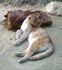 The Living Desert -- Mountain lion.