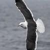 Western Gull @ North Pacific Ocean [Pelagic Bird Trip]