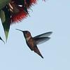 August 28, 2015 - (Olivas Adobe Historical Park / Ventura, Ventura County, California) -- Probable Allen's Hummingbird