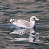 August 27, 2015 - (CHANNEL ISLANDS NATIONAL PARK [Scorpion Harbor on Santa Cruz Island] / Ventura, Ventura County, California) -- Immature California Gull