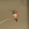 August 28, 2015 - (Olivas Adobe Historical Park / Ventura, Ventura County, California) -- Allen's Hummingbird