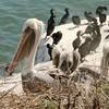 August 31, 2015 - (Point La Jolla [Seawatch] / La Jolla, San Diego County, California) -- Brown Pelicans with Brandt's Cormorants