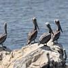 August 24, 2015 - (Salton Sea [Obsidian Butte] / Calipatria, Imperial County, California) -- Brown Pelicans