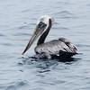 Brown Pelican @ Mission Bay--Quivira Basin