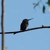 August 29, 2015 - (Scripps Library Pond / Mira Mesa, San Diego County, California) -- Anna's Hummingbird