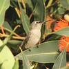 August 28, 2015 - (Olivas Adobe Historical Park / Ventura, Ventura County, California) -- Costa's Hummingbird