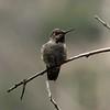August 26, 2015 - (San Bernardino National Forest [Bearpaw Ranch Sanctuary] / Forest Falls, San Bernardino County, California) -- Immature Anna's Hummingbird