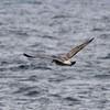 Immature Western Gull @ North Pacific Ocean [Pelagic Bird Trip]