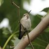 August 26, 2015 - (San Bernardino National Forest [Bearpaw Ranch Sanctuary] / Forest Falls, San Bernardino County, California) -- Anna's Hummingbird
