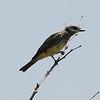 Cassin's Kingbird @ Tijuana Slough NWR
