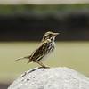 """Belding's"" Savannah Sparrow @ Tijuana Slough NWR"