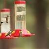 August 25, 2015 - (San Bernardino National Forest [Hurkey Creek County Park] / Idyllwild, Riverside County, California) -- Hummingbirds