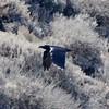 August 27, 2015 - (CHANNEL ISLANDS NATIONAL PARK [Scorpion Bay on Santa Cruz Island] / Ventura, Ventura County, California) -- Common Raven