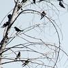 Barn Swallows @ Huntington Central Park