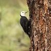 August 26, 2015 - (San Bernardino National Forest [Heart Bar Campgrounds] / Angelus Oaks, San Bernardino County, California) -- Female White-headed Woodpecker