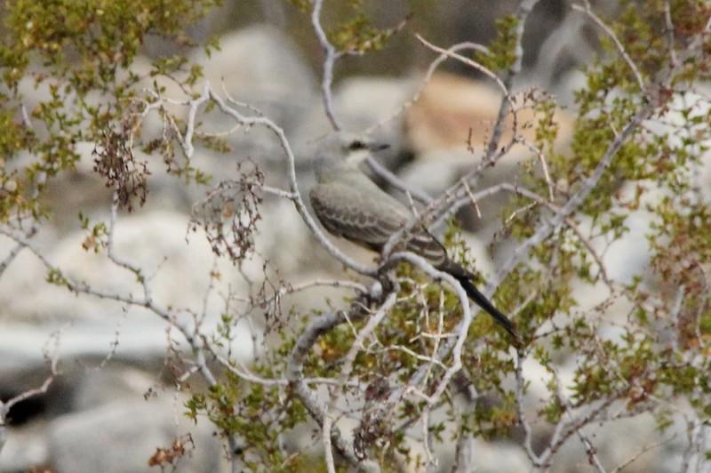 August 25, 2015 - (Anza-Borrego Desert State Park [Clark Dry Lake] / Borrego Springs, San Diego County, California) -- Western Kingbird