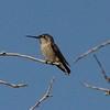 August 28, 2015 - (Olivas Adobe Historical Park / Ventura, Ventura County, California) -- Anna's Hummingbird