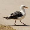 Western Gull @ Chula Vista Bayfront [mudflats]