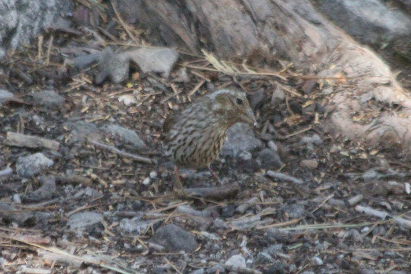 June 25, 2012 (Forest Falls [Picnic area] / Forest Falls, San Bernardino County, California) -- Female Purple Finch