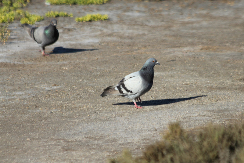 June 23, 2012 (Bolsa Chica Ecological Reserve / Huntington Beach, Orange County, California) -- Rock Pigeon