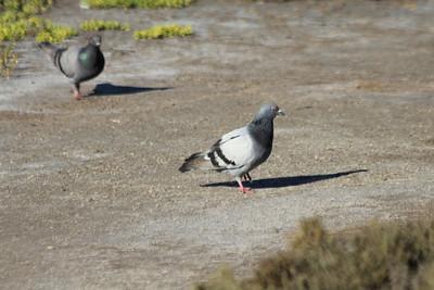 June 23, 2012 (Bolsa Chica Ecological Reserve / Huntington Beach, Orange County, California) -- Rock Pigeon