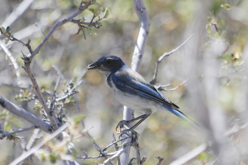 June 27, 2012 (Frazier Park Mountain Road [at side of road] / Frazier Park, Kern County, California) -- Western Scrub Jay