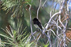 June 25, 2012 (Redlands Bowl [South Eureka Street] / Redlands, San Bernardino County, California) -- Black Phoebe