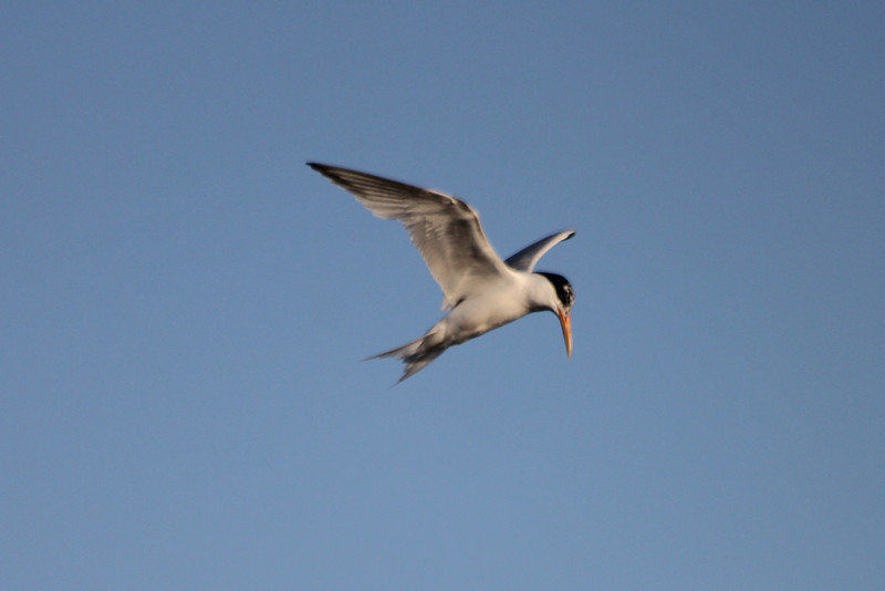 June 23, 2012 (Bolsa Chica Ecological Reserve / Huntington Beach, Orange County, California) -- Elegant Tern