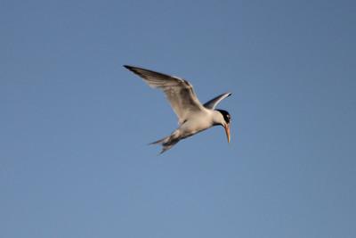 June 23, 2012 (Bolsa Chica Ecological Reserve / Huntington Beach, Orange County, California) -- Elegant Tern