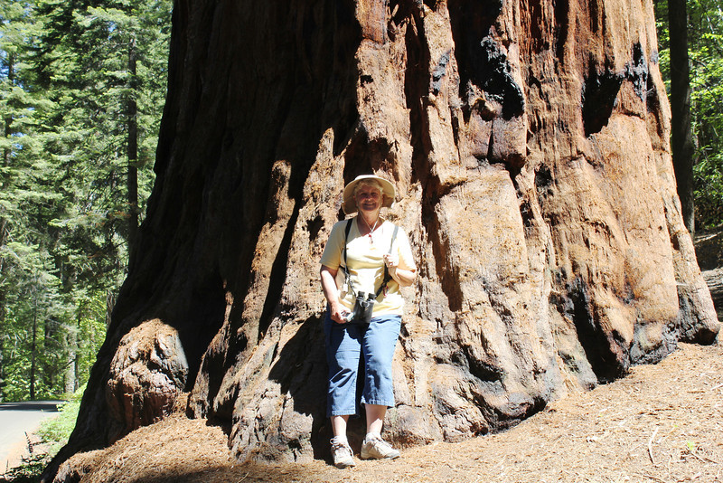June 28, 2012 (Crescent Meadow Road / Sequoia National Park, Tulare County, California) -- Mary Anne dwarfed in front of a giant Sequoia Tree