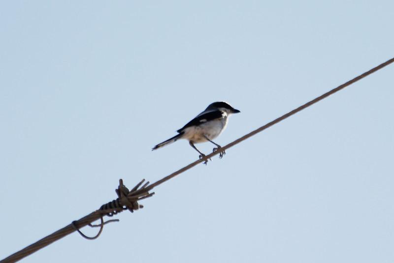 June 24, 2012 (Salton Sea [above Davis Road] / Niland, Imperial County, California) -- Loggerhead Shrike
