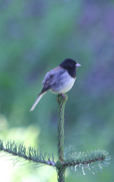 "June 28, 2012 (Wuksachi Lodge [asphault trail] / Sequoia National Park, Tulare County, California) -- Dark-eyed ""Oregon Race"" Junco"