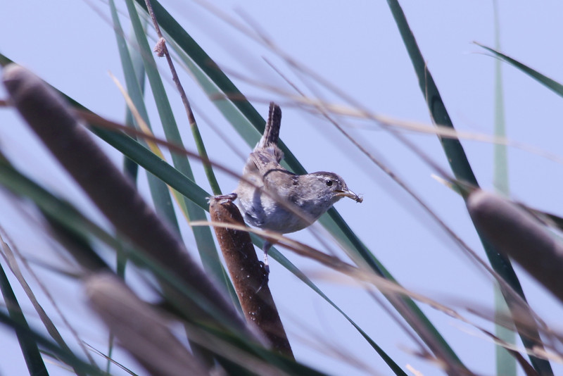 June 24, 2012 (Salton Sea [Morton Bay at the end to McDonald Road] / Niland, Imperial County, California) -- Marsh Wren