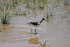 June 24, 2012 (Salton Sea [blinds off Boyle Road] / Calipatria, Imperial County, California) -- Black-necked Stilt