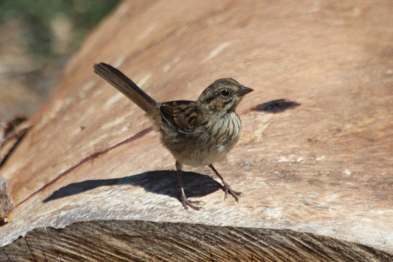June 26, 2012 (Channel Islands National Park / Santa Cruz Island, Santa Barbara County, California) -- Young Lincoln Sparrow