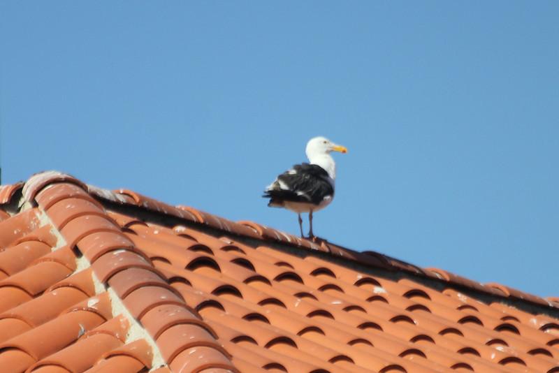June 26, 2012 (Ventura Marina [Island Packers' roof] / Ventura, Ventura County, California) -- Western Gull