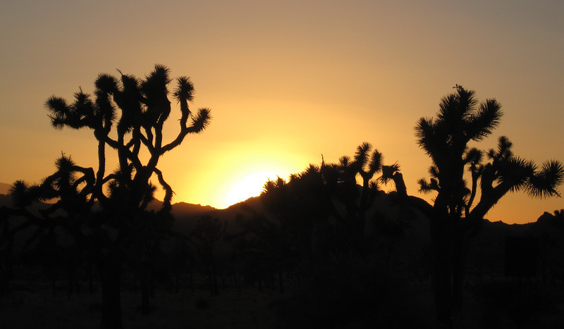 June 24, 2012 (Joshua Tree National Park [on Park Road] / Joshua Tree, San Bernardino County, California) -- Joshua Trees in sunset